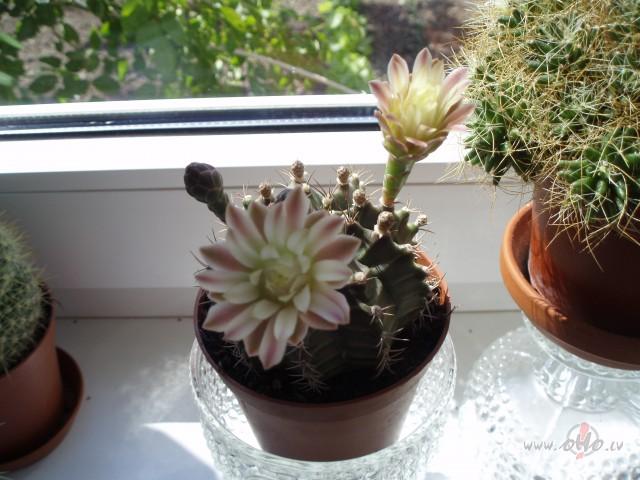 Cik daudz jālaista kaktuss? kā to kopt? foto