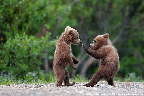 Kā atšķir lāčus? foto