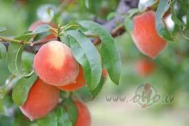 Aprikozes un persiki dārzos Latvijā