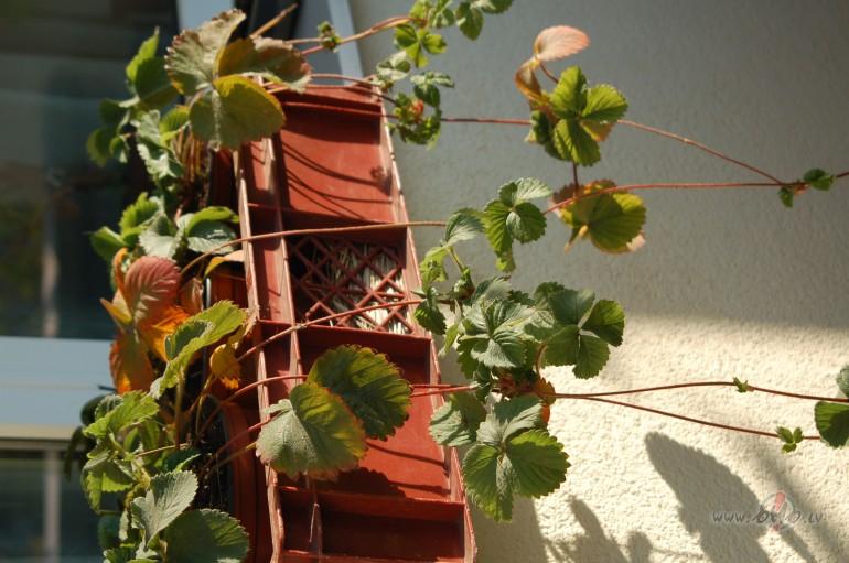 Kā ieziemot nokarenās zemenes podiņā, kas augušas uz balkona?