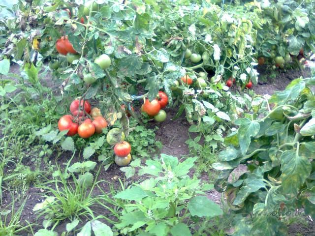 Tomātu audzēšana - izturīgākās škirnes? foto